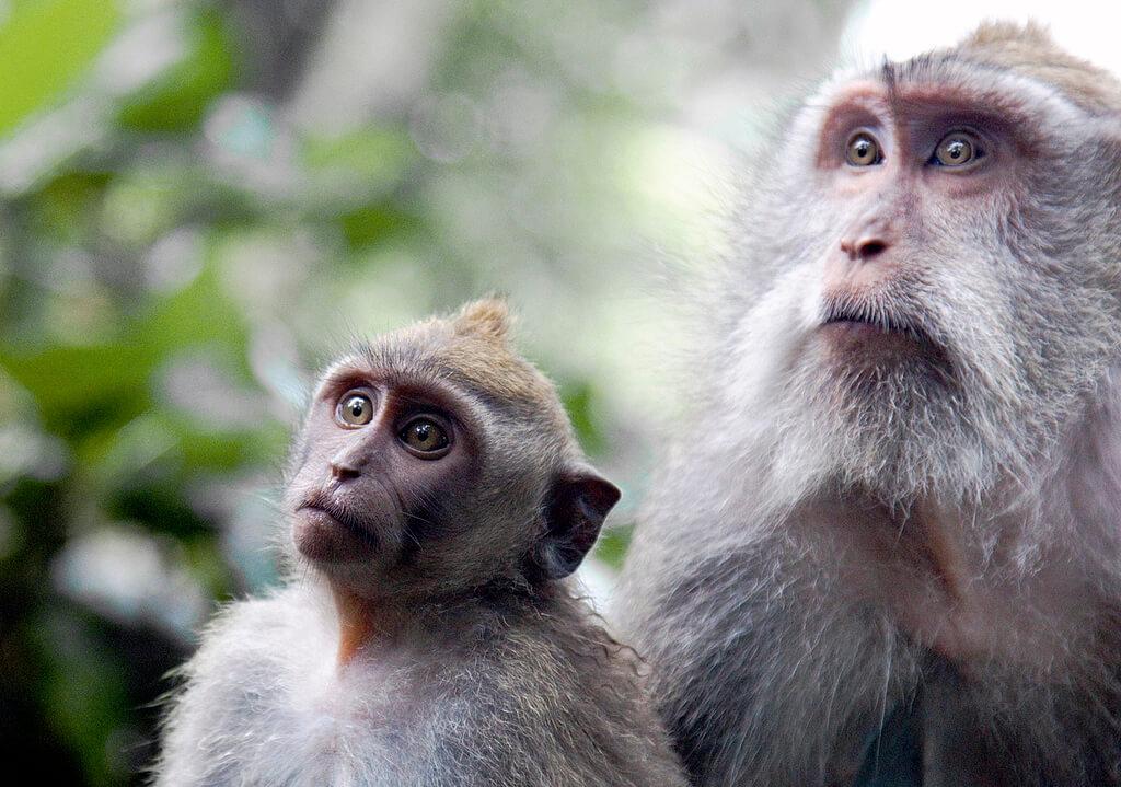 sacred-monkey