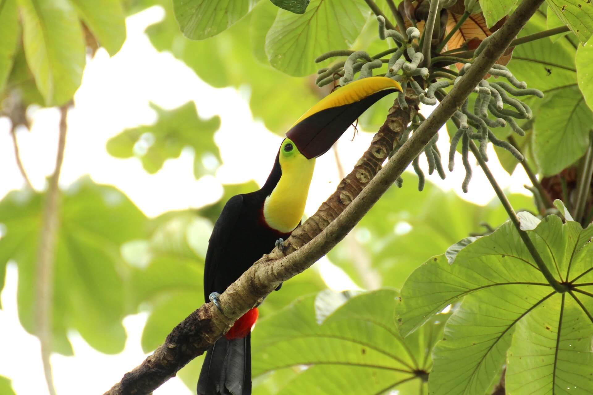 toucan-1972557_1920