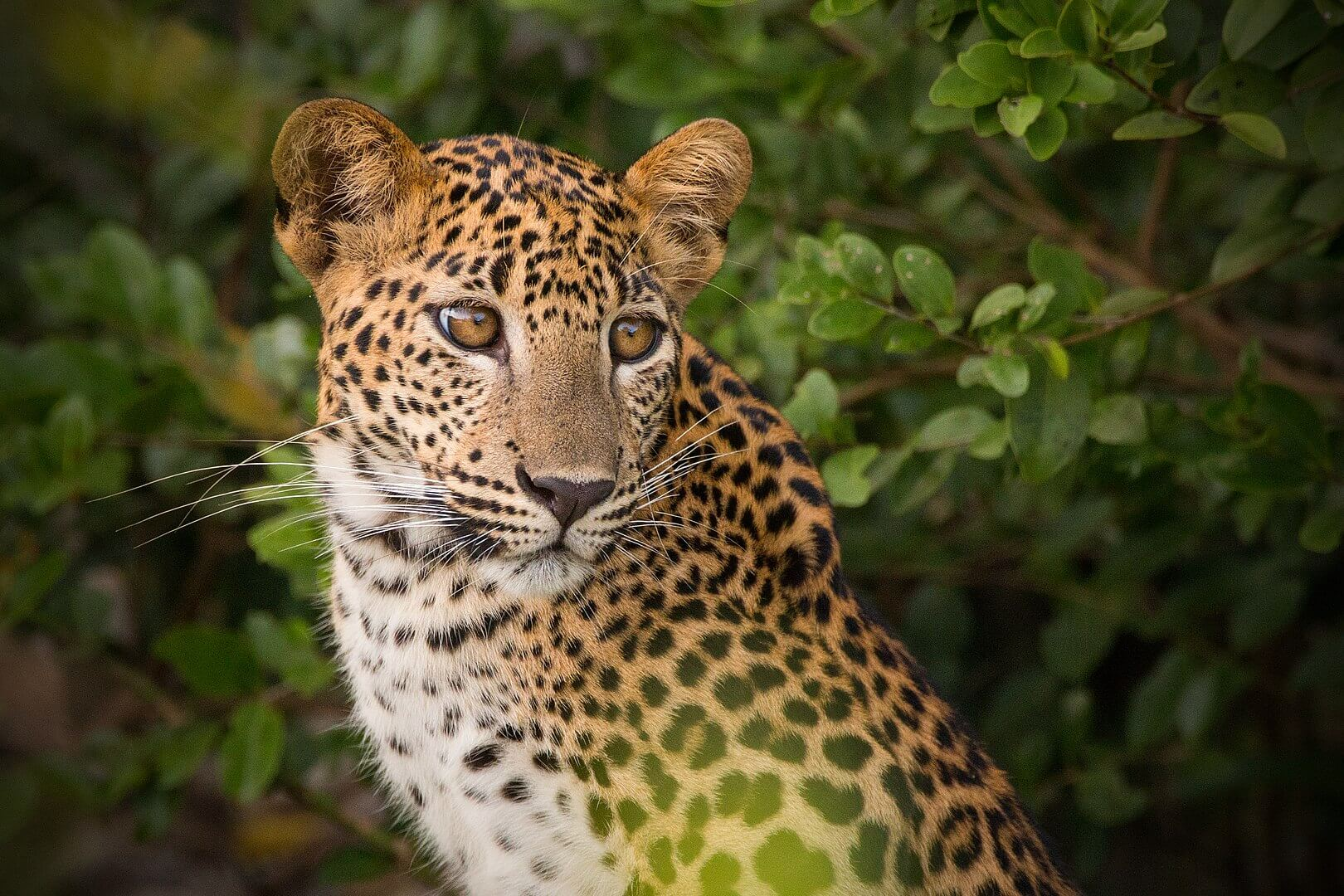 1620px-sri_lankan_leopard_at_wilpattu_national_park_-_brave_beauty-compressor