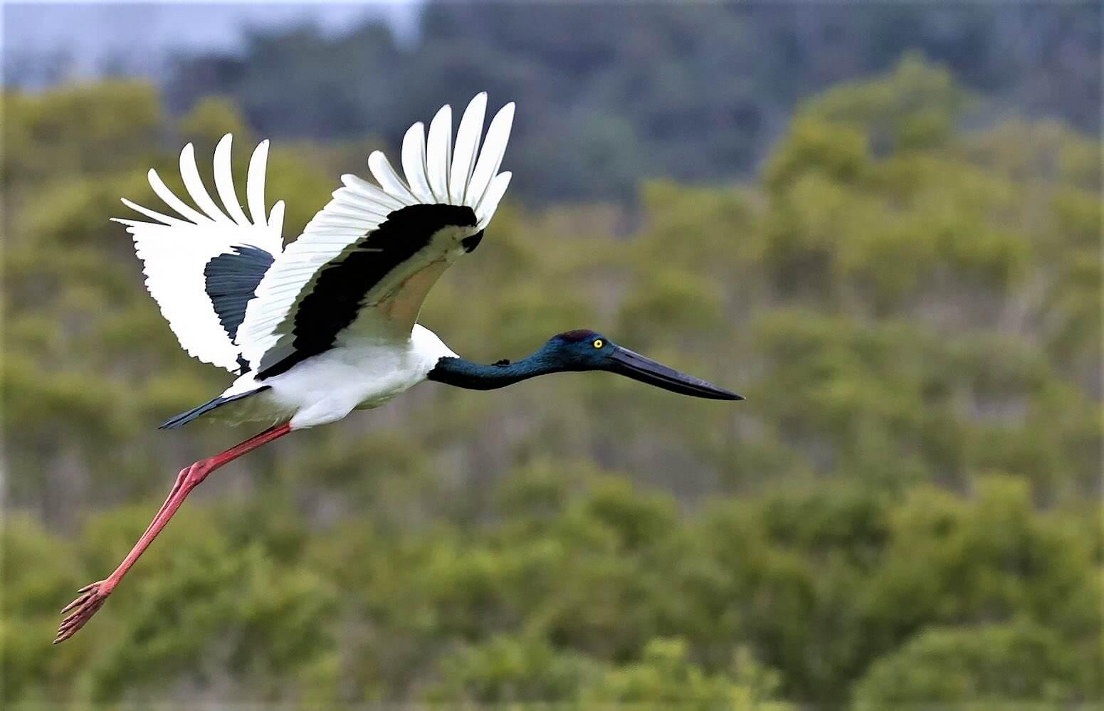female_of_black-necked_stork-compressor